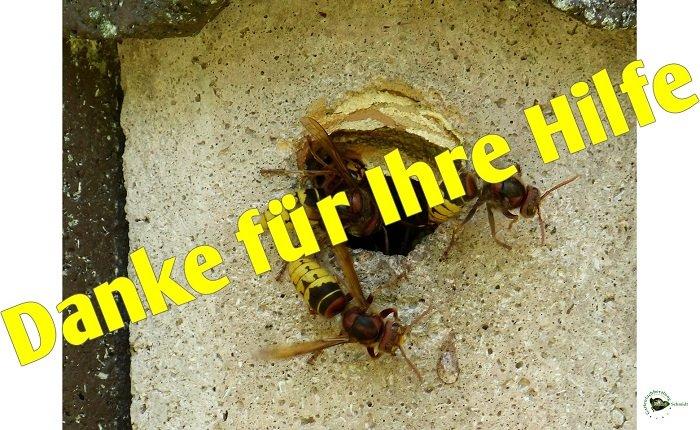 hornissen vespa crabro sie haben ein hornissennest. Black Bedroom Furniture Sets. Home Design Ideas