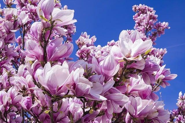 magnolien die sch nsten fr hlingsbl her f r den garten. Black Bedroom Furniture Sets. Home Design Ideas