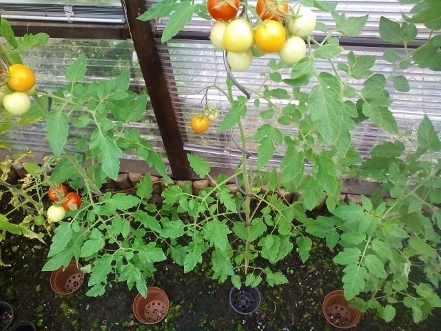 tomaten im kleingarten