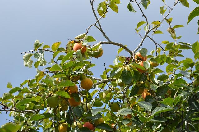 pfirsichbäume aus kernen ziehen