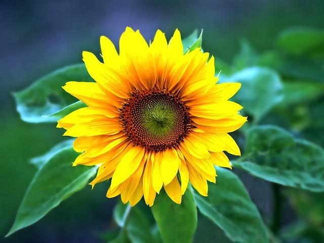 riesen sonnenblumen samen american giants